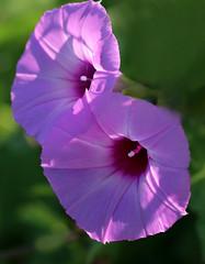 Morning Glories (TPorter2006) Tags: texas tporter2006 flower july 2019 plano arborhillsnaturepreserve purple trumpet