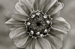 Patterns in Nature - b/w (deanrr) Tags: patternsinnature patterns nature morgancountyalabama outdoor blackandwhite zinnia alabama flower texture