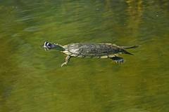 Painted Turtle (kevinwg) Tags: paintedturtle painted turtle water lake pond swimming submerged underwater