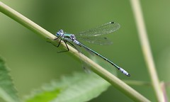 Emerald Spreadwing (edtoronto) Tags: emerald spreadwing damselfly odonata toronto green copper nature lestes