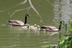 Babies (norasphotos4u) Tags: water birds canonef100400f4556iiusm canon7dmkii ©noraleonard waterfowl