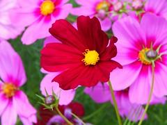 Cosmic Storm (starmist1) Tags: cosmicstorm cosmos flower roadshouldergarden flowergarden garden july summer rainyday overcast cool