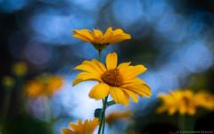 Daisy Halo (christopherdeacon) Tags: flower outdoors stratford summer daisy yellow meyeroptik meyeroptiktrioplan meyeroptiktrioplan100mm fujifilmxt3 garden dof shallowdof depthoffield bokeh