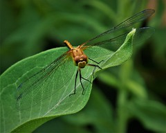 In Repose (prsavagec) Tags: dragonfly gold macro nature green botonicalgardens insect summer july