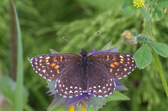 Tume-võrkliblikas; Melitaea diamina; False Heath Fritillary (urmas ojango) Tags: lepidoptera liblikalised insecta putukad insects butterfly koerlibliklased nymphalidae tumevõrkliblikas melitaeadiamina falseheathfritillary