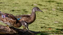 IMG_1229 (brian.a.stamper) Tags: aixsponsa animal bird woodduck