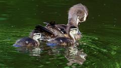 IMG_1220 (brian.a.stamper) Tags: aixsponsa animal bird ducklings woodduck