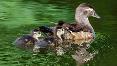 IMG_1219 (brian.a.stamper) Tags: aixsponsa animal bird ducklings woodduck