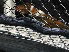 Black Rat Snake, Carbon County, PA, July 2019 (sstaedtler) Tags: rat snake wildlife outdoors reptile nature herping conservation animal carboncountypa pennsylvania