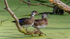 IMG_0923 (brian.a.stamper) Tags: aixsponsa animal bird woodduck