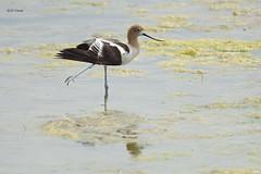 American Avocet (featherweight2009) Tags: americanavocet recurvirostraamericana avocets wadingbirds birds
