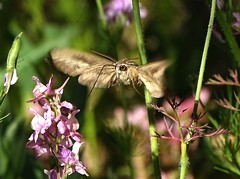 Jul15,2019 DSC09548 White-lined Sphinx Moth (terrygray) Tags: moth sphinx whitelined moscow idaho