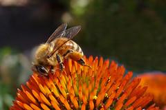 Pracowita pszczółka. (cbrozek21) Tags: pszczoła bee honeybee macro insect flower