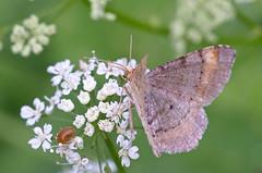 Männi-kärbvaksik; Macaria liturata; Tawny-barred Angle (urmas ojango) Tags: lepidoptera liblikalised insecta putukad insects moth vaksiklased nationalmothweek geometridae männikärbvaksik macarialiturata tawnybarredangle