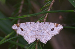 Kase-kärbvaksik; Macaria notata; Peacock Moth (urmas ojango) Tags: lepidoptera liblikalised insecta putukad insects moth vaksiklased geometridae nationalmothweek kasekärbvaksik macarianotata peacockmoth