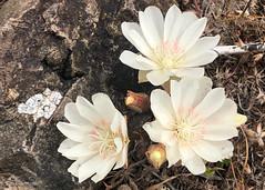 Bitterroot (Lewisia rediviva) (Chub G's M&D) Tags: flowersplants utah lewisiarediviva bitterroot wildflowers flowers westdesert