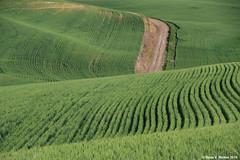 Coyote Road (walkerross42) Tags: road dirtroad coyoteroad stjohn palouse washington wheat field farm rows lines crop hills contour