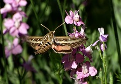 Jul15,2019 DSC09552 White-lined Sphinx Moth (terrygray) Tags: moth sphinx whitelined moscow idaho