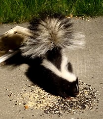 Jul15,2019 DSC09511 Striped Skunk Moscow ID (terrygray) Tags: skunk striped moscow idaho