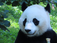 2019_07-05x (gkoo19681) Tags: beibei chubbycubby fuzzywuzzy adorableears toofers brighteyed treattime sugarcane soyummy sohappy toocute beingadorable meltinghearts precious ccncby nationalzoo