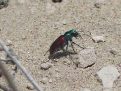 Cicindela scutellaris scutellaris, male (tigerbeatlefreak) Tags: cicindela scutellaris insect tiger beetle coleoptera cicindellidae nebraska