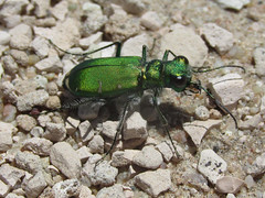 Cicindela denverensis, female (tigerbeatlefreak) Tags: cicindela denverensis insect tiger beetle coleoptera cicindellidae nebraska