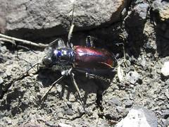 Cicindela pulchra pulchra, male (tigerbeatlefreak) Tags: cicindela pulchra insect tiger beetle coleoptera cicindellidae south dakota