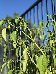 Some summer garden color (#swingen35photog) Tags: swingen35photog gardencolor plants garden
