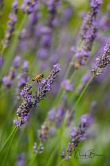 For The Beauty Of The Earth (Nick Boren Photography) Tags: lavender festival newburg oregon usa flower macro honey bee insect smell fragrance outdoors nickborenphotography fineartamerica nikon digital photography summer season