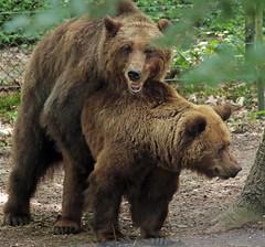 Brown bear Ouwehand 094A0483 (j.a.kok) Tags: animal europe europa bear beer bruinebeer brownbear predator ouwehands ouwehandsdierenpark zoogdier dier mammal