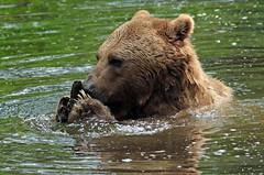 Brown bear Ouwehand 094A0575 (j.a.kok) Tags: animal europe europa bear beer bruinebeer brownbear predator ouwehands ouwehandsdierenpark zoogdier dier mammal