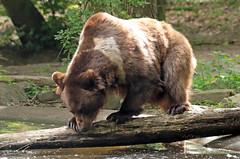Brown bear Ouwehand 094A0546 (j.a.kok) Tags: animal europe europa bear beer bruinebeer brownbear predator ouwehands ouwehandsdierenpark zoogdier dier mammal