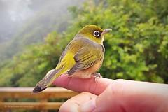 closeup silvereye perching on my finger (hueymilunz) Tags: nature bird fauna florafauna garden green wellington nz newzealandtransition newzealand android closeup