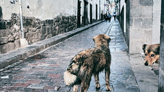 Streets of Peru (Sony J Thomas) Tags: cusco peru travel street dogs alley old city