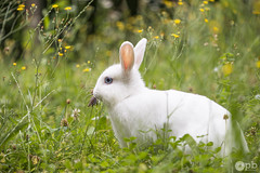 Coton dans son élément (Philippe Bélaz) Tags: blanc coton famille herbes jaune lapin lapins prairies rongeurs verdures vert