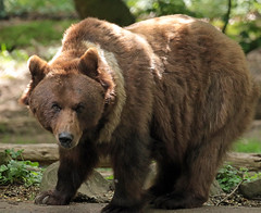 Brown bear Ouwehand 094A0533 (j.a.kok) Tags: animal europe europa bear beer bruinebeer brownbear predator ouwehands ouwehandsdierenpark zoogdier dier mammal