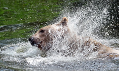 Brown bear Ouwehand 094A0534 (j.a.kok) Tags: animal europe europa bear beer bruinebeer brownbear predator ouwehands ouwehandsdierenpark zoogdier dier mammal
