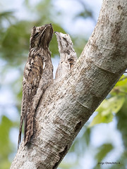 Northern Potoo (Nyctibius jamaicensis) (Jorge Chinchilla A.) Tags: guanacaste costarica américacentral northern potoo nyctibius jamaicensis jorgechinchilla avesdecostarica costaricabirds birds birdwatcher birdphoto neotropicalbirds ngc