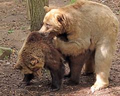 Brown bear Ouwehand 094A0425 (j.a.kok) Tags: animal europe europa bear beer bruinebeer brownbear predator ouwehands ouwehandsdierenpark zoogdier dier mammal