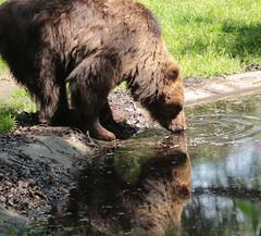 Brown bear Ouwehand 094A0996 (j.a.kok) Tags: animal europe europa bear beer bruinebeer brownbear predator ouwehands ouwehandsdierenpark zoogdier dier mammal
