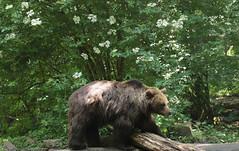 Brown bear Ouwehand 094A1003 (j.a.kok) Tags: animal europe europa bear beer bruinebeer brownbear predator ouwehands ouwehandsdierenpark zoogdier dier mammal