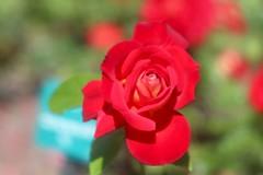 希望 / Espoir      SOM Berthiot Flor 75mm  F 3.5 (情事針寸II) Tags: tessar oldlens macro bokeh nature flower rose rosegarden kasteelcoloma somberthiotflor75mmf35 flowerscolors macrodreams