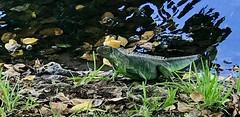 Friendly Iguana (LarryJay99 ) Tags: