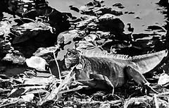Friendly Iguana (LarryJay99 ) Tags: blackandwhite bw iguana fauna animals