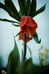 nature (oliviermeyer54200) Tags: nature plante fleur flower macro bokeh