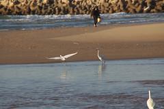 Egret (Shalva1948) Tags: travel nature birds egret israel