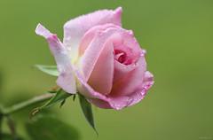 pink rose (Christine_S.) Tags: flower flowers roses blossom closeup rain raindrops canon eos m5 ef100mm macro green nature garden mygarden summer outdoor japan
