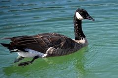 Wild goose (thomasgorman1) Tags: goose canada canadian waterfowl bird water marina nature swimming wildlife floating