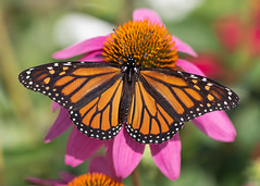 Spread your wings (mpalmer934) Tags: monarch butterfly macro flower insect bokeh light nature outdoor photography