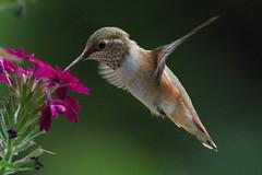 Taking a sip (jbinpg) Tags: rufoushummingbird selasphorusrufus juvenile princegeorge bc canada